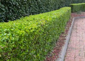 pruned hedges