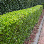 Hedges can be pruned two to three times per year to keep them dense & beautiful.