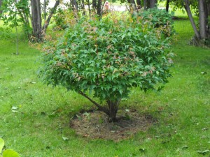 Pruning bushes during the dormant season leads to a burst of new growth in the spring.