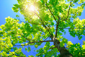 Professional pruning makes a healthy, beautiful tree.